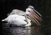 picture of troika  - young pelicans prefer to keep together - JPG
