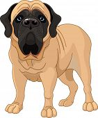 picture of english-mastiff  - English Mastiff - JPG