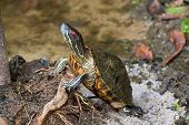 Red-eared slider, red-eared terrapin turtle with red stripe near ears stand on tree root in Singapor poster