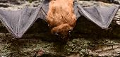 Mammals Naturally Capable Of True And Sustained Flight. Eyes Bat Species Small Poorly Developed. Bat poster