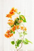 Flowering Bush Orange Bougainvillea On A White Background Roses Bloomed On A Bush. poster
