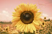 Vintage Sunflowers Texture And Background For Designers. Sunflowers Field Background In Vintage Styl poster