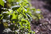 Fresh Leaves Of Stinging Nettles In The Countryside (urtica Dioica) poster