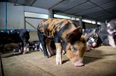 Berkshire Pig Or Kurobuta Pig -swine Farming Business In Relax Time. Pigfarmingis The Raising And poster