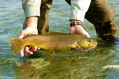 Silver Creek Brown Trout
