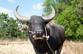 pic of female buffalo  - Buffalo in sunny day in Rayong province of Thailand - JPG