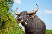 picture of female buffalo  - Buffalo in sunny day in Rayong province of Thailand - JPG