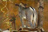 Zebra Impasse