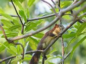 Squirrel Climbs On Branch Frangipani Tree Rodent Animal poster