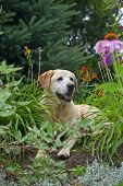 Labrador Retriever in garden