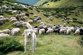 A Shepherd Dog In A Tenderness Moment With The Sheep He Guards poster