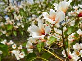 White Rhododendron Blossoms With A Beautiful Blur. Rhododendron Hybridum. poster