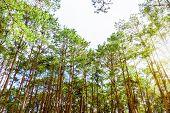 Beautiful Nature, Many Tree Of The Pinus Kesiya (khasi Pine, Benguet Pine Or Three-needled Pine) For poster