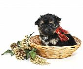 stock photo of poo  - Little Yorki - JPG