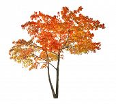 red autumn maple tree isolated on white background