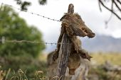impaled wild boar corpse on field fence, no trespassing