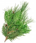 Thuja and pine twigs isolated on white, closeup view