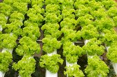stock photo of cameron highland  - Organic hydroponic vegetable garden at Cameron Highlands Malaysia - JPG