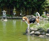 Beagle En Accion 2