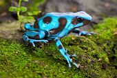 frog in tropical rain forest blue poison dart frog Dendrobates auratus of rainforest in Panama beautiful tropical amphibian with bright warning colors