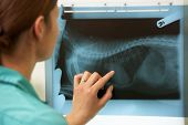 Female Veterinary Surgeon Examining X Ray In Surgery