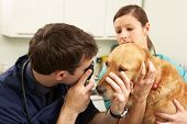 Male Veterinary Surgeon Examining Dog In Surgery