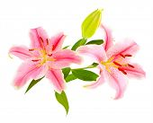 Pink lilies (lily / Lilium) isolated on white. Carefully shot so that it is completely floating in w