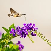 image of hawk moth  - hummingbird hawk - JPG