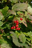 pic of rebs  - Reb berries on a bush photographed in my garden October 2008 - JPG