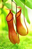 pic of nepenthes-mirabilis  - Pitcher plant - JPG