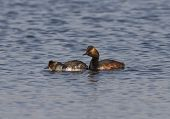 Female And Male Black-necked Grebe On The Lake.
