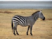 Safari -zebra Posing And Curiously Looking