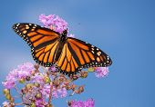 Beautiful Monarch butterfly on a purple Crape Myrtle against blue summer sky
