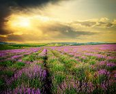 stock photo of farm land  - Meadow of lavender - JPG