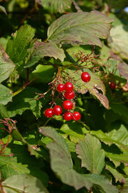 stock photo of rebs  - Reb berries on a bush photographed in my garden October 2008 - JPG