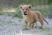 Little Lion Cub Shows His Teeth With A Roar