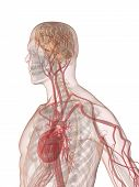 pic of male body anatomy  - 3d rendered anatomy illustration of a human body shape with heart and vascular system - JPG