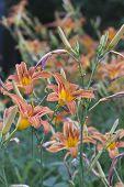 Bright Orange Lillies In Summer