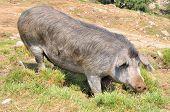 Corsican Pig