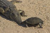 image of terrapin turtle  - A terrapin kisses a crocodile on the nose - JPG