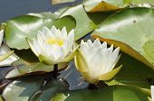 Dwarf White Water-lily