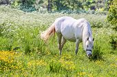 White Horse In Flower Meadow