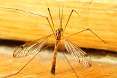 stock photo of gnat  - A mosquito sitting on yellow wall indoor - JPG