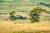 Big Trees On Terraced Fields, Village In The Distance, Mu Cang Chai District, Yen Bai Province, Viet