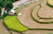 Terraced Fields Being Harvested With Small Stilt Houses In Corner, Mu Cang Chai District, Yen Bai Pr