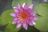 Waterlily Lotus Flower And Leaves