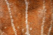 texture of real axis deer fur