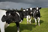 Holstein Cows In Wales