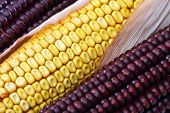 stock photo of corn cob close-up  - some corn on the cob close up