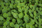 Big Leaves Of Nasturtium Plant